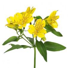 Альстромерия жёлтая