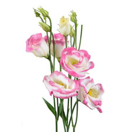Эустома светло-розовая