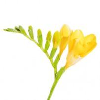 Фрезия жёлтая