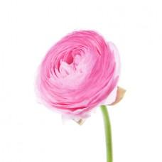 Лютик розовый