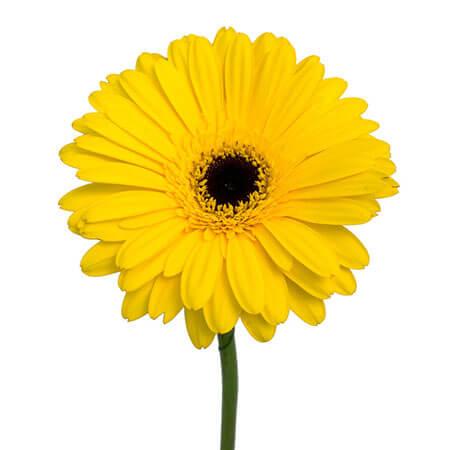 Гербера жёлтая