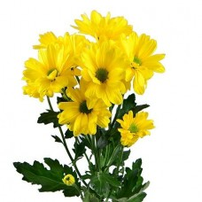 Хризантема ромашковая жёлтая