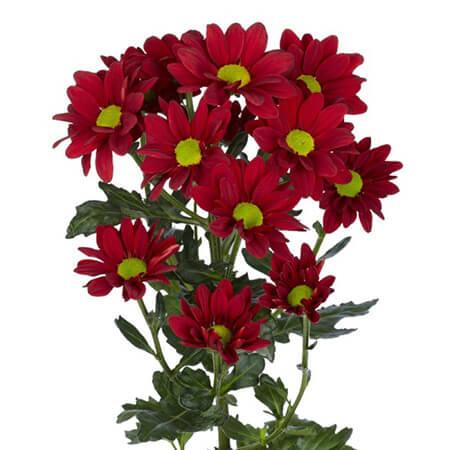 Хризантема ромашковая красная