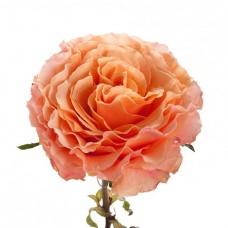 Роза «Campanella» поштучно