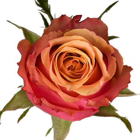 Роза «Cherry Brandy» поштучно