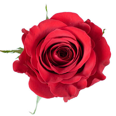 Роза «Freedom» поштучно