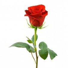 Роза красная длинная «Freedom» поштучно