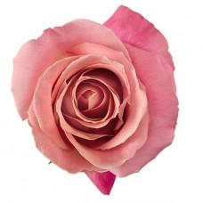 Роза «Hermosa» поштучно