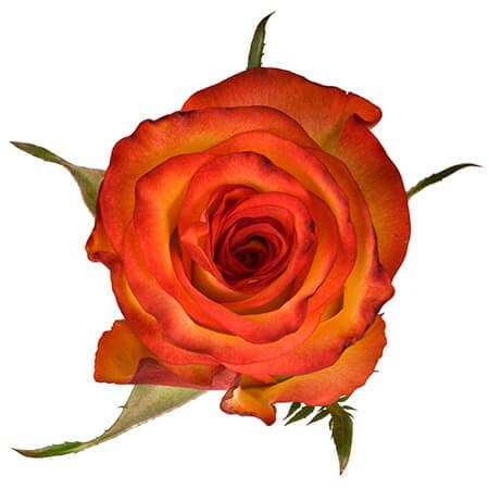 Роза «High Orange» поштучно