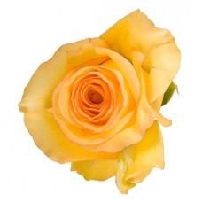Роза «Mohana» поштучно