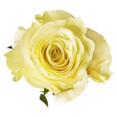 Роза «Mondial» поштучно