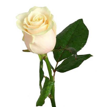 Роза белая длинная «Mondial» поштучно