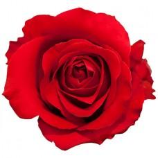 Роза «Nina» поштучно