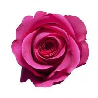 Роза «Pink Floyd» поштучно