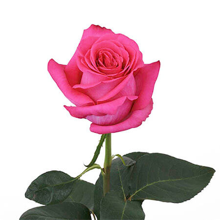 Роза розовая длинная «Pink Floyd» поштучно