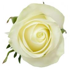 Роза «Polar Star» поштучно