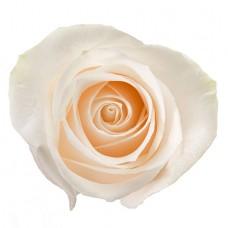 Роза «Vendela» поштучно