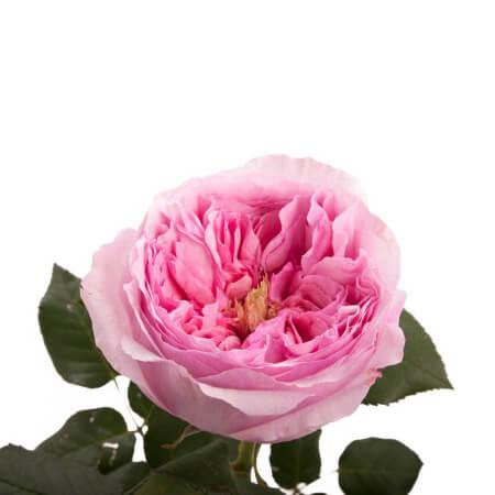 Роза садовая «David Austin Carey»