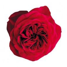 Роза садовая «David Austin Darcey»