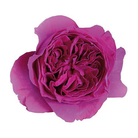 Роза садовая «David Austin Kate»