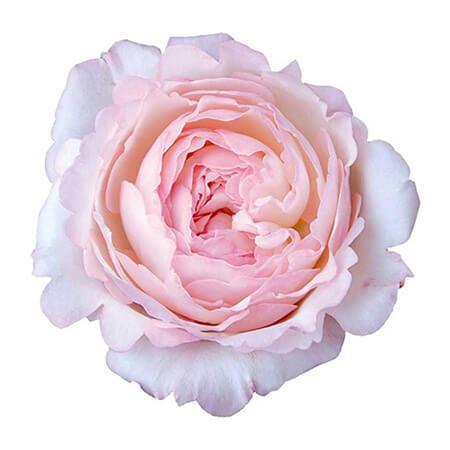 Роза садовая «David Austin Keira»
