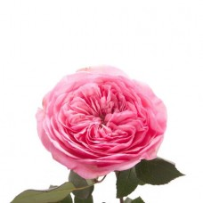 Роза садовая «David Austin Mariatheresia»