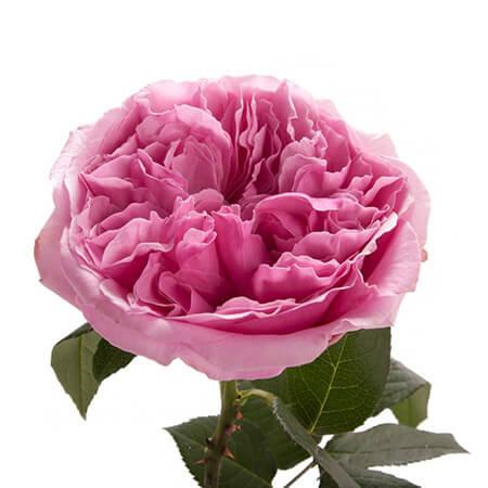 Роза садовая «Miranda»