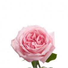 Роза садовая «Pink O'Hara»