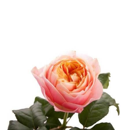 Роза садовая «Vuvuzela»