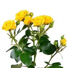 Роза кустовая жёлтая