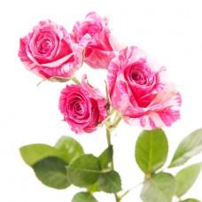 Роза кустовая пёстрая