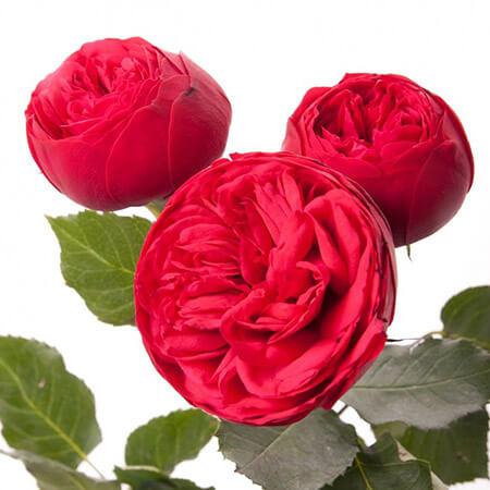 Роза кустовая пионовидная Piano красная
