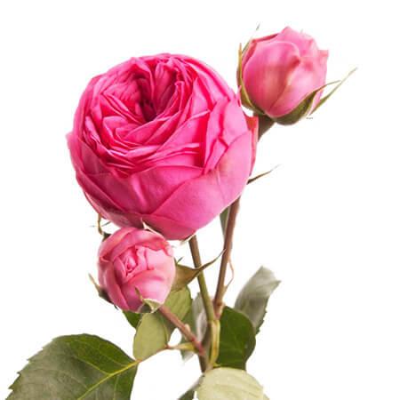 Роза кустовая пионовидная Piano розовая