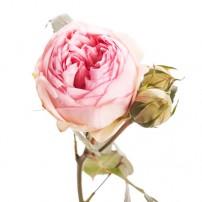 Роза кустовая пионовидная Piano светло-розовая