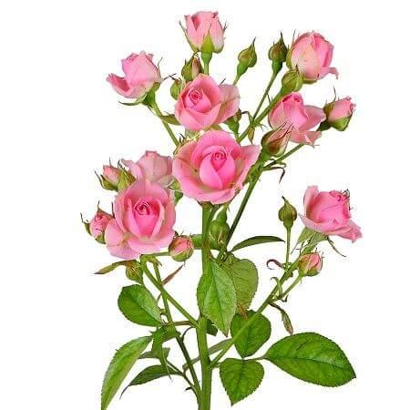 Роза кустовая светло-розовая