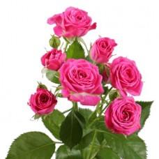 Роза кустовая ярко-розовая