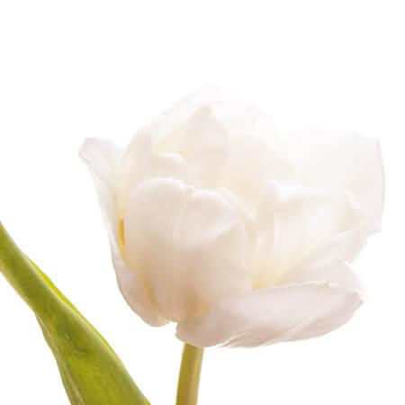 Тюльпан Double белый