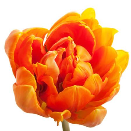 Тюльпан Double оранжевый