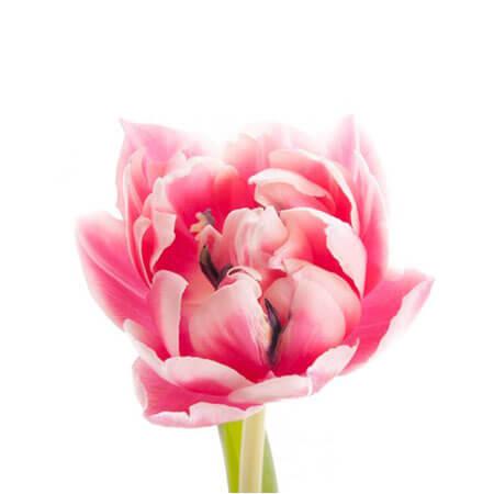 Тюльпан Double розовый